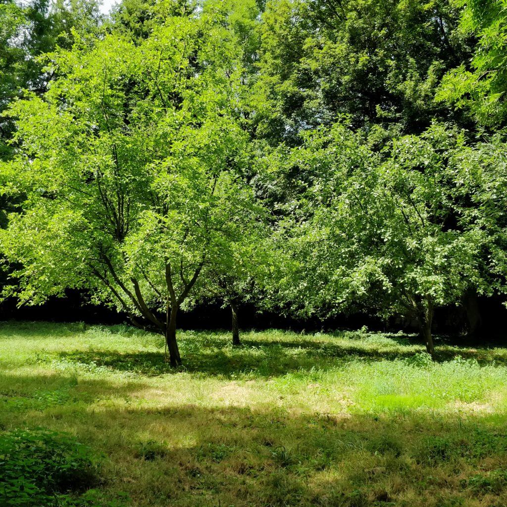 Drzewa kwitnące latem